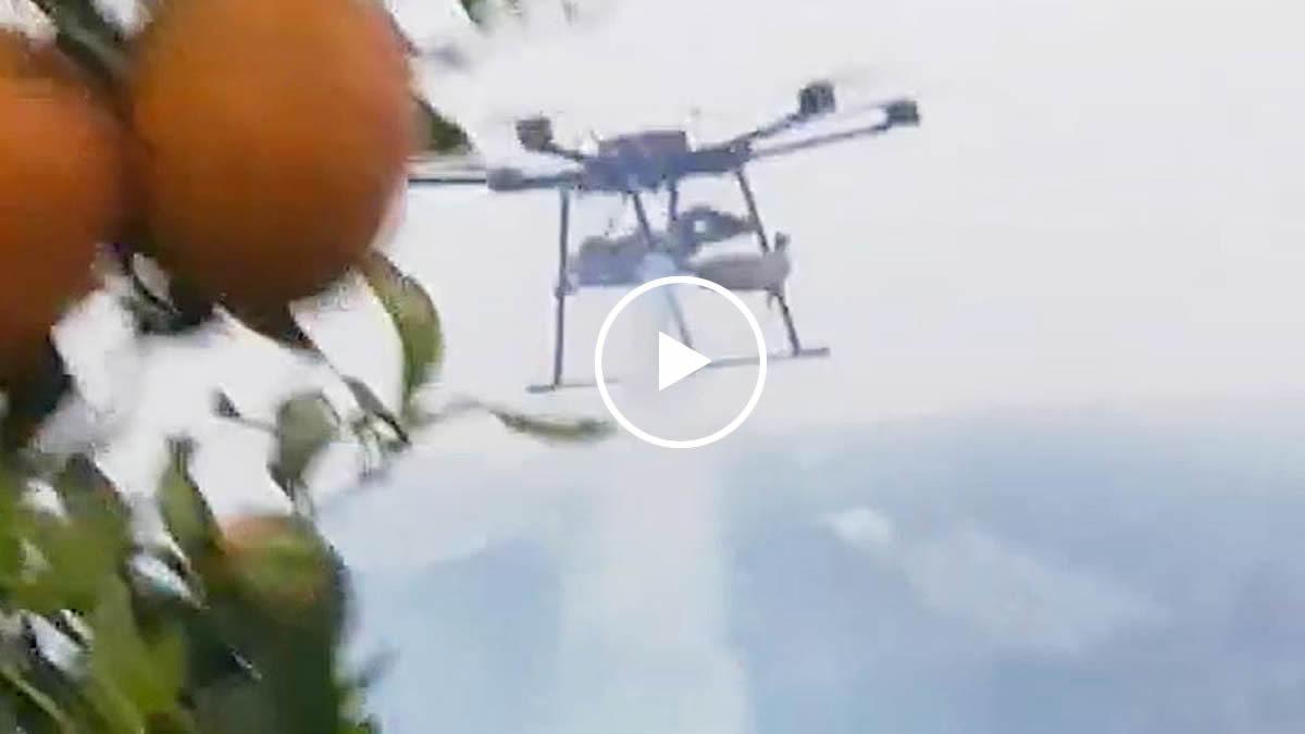 red spider on Orange tree killed by fogger drone